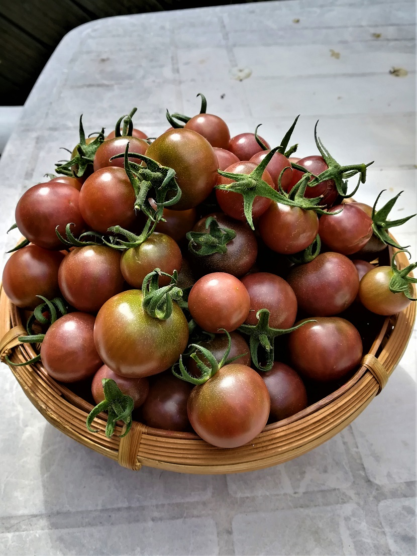 Black Cherry Tomatoes August 20